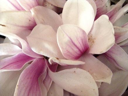 Magnolia Blossoms - Esscentual Alchemy